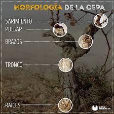 MORFOLOGÍA DE LA VID: tronco, brazos, yemas, brotes, sarmientos