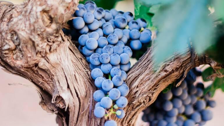 Concepto primario del vino